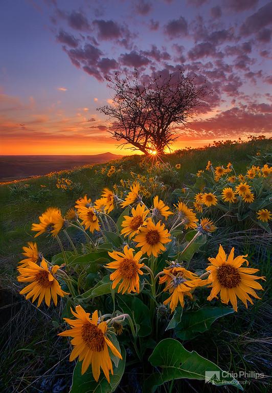Фото Жёлтые цветы и дерево, освещённые закатом. Фотограф Chip Phillips (Chip Phillips Photography)