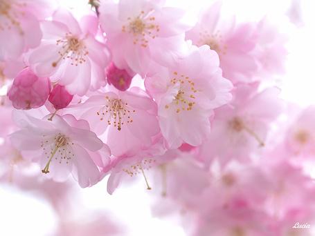 Фото Веточка цветущей вишни, фотограф - Lucia Lin (© Malenkoe 4ydo), добавлено: 02.05.2012 21:37