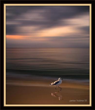 Фото Чайка на берегу моря. Фотограф Питер Холм ( Peter Holme III)