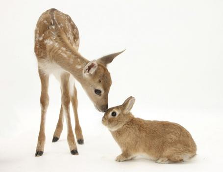 Фото Маленький оленёнок обнюхивает кролика, фотограф - Mark Taylor (© Malenkoe 4ydo), добавлено: 06.05.2012 11:25