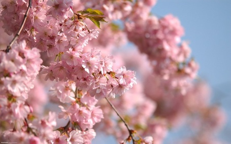 Фото Цветущая сакура (© Anatol), добавлено: 09.05.2012 14:59