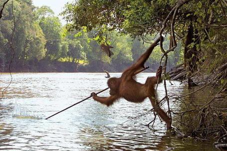 Фото Орангутанг охотится на рыбу (© BRODJaGA), добавлено: 10.05.2012 00:18