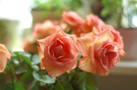 Фото Нежные розы