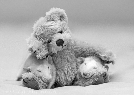 Фото Дружные крысы со своей игрушкой, фотограф - Jessica Florence (© Malenkoe 4ydo), добавлено: 15.05.2012 21:34
