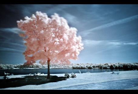 Фото Деревце розовое растет на берегу реки (© Lily), добавлено: 15.05.2012 23:11