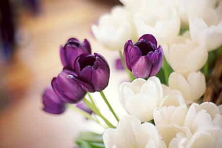 Фото Фиолетовые и белые тюльпаны (© Кофе мой друг), добавлено: 17.05.2012 21:59