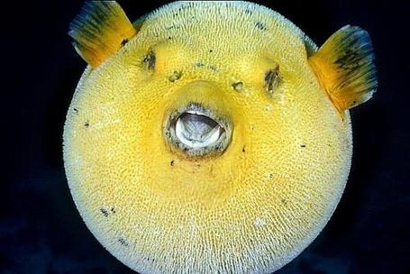 Фото Рыба - ёж раздулась и стала похожа на мяч