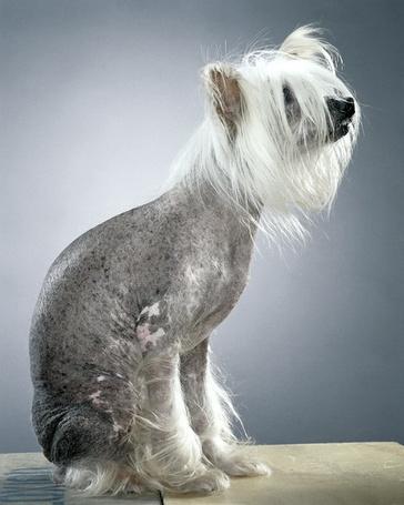 Фото Китайская хохлатая собака, фотограф - Jill Greenberg (© Malenkoe 4ydo), добавлено: 22.05.2012 22:32