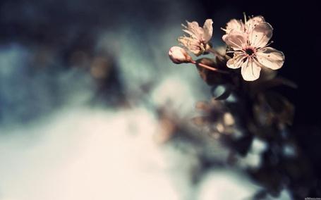 Фото Распустившийся цветок вишни (© Юки-тян), добавлено: 28.05.2012 04:41