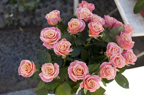 Фото Цветущие, розовые розы в саду