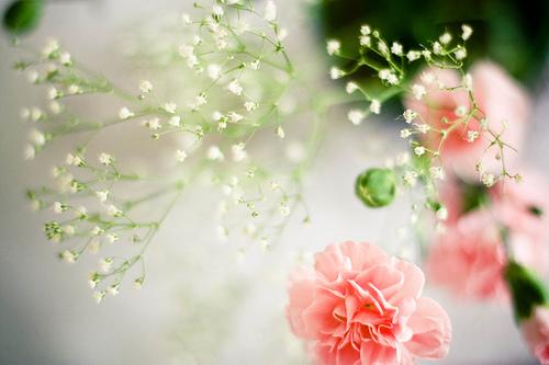 Фото розовые гвоздики и веточки белой