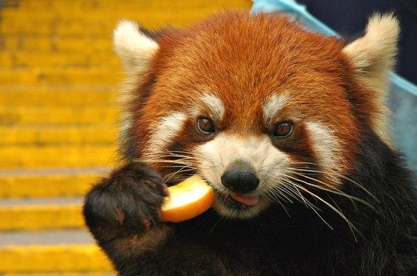 Фото милая красная панда ест кусочек