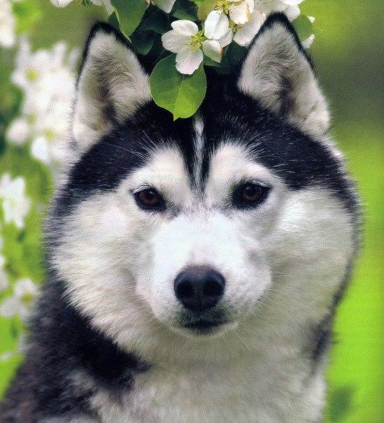 Фото хаски цветы