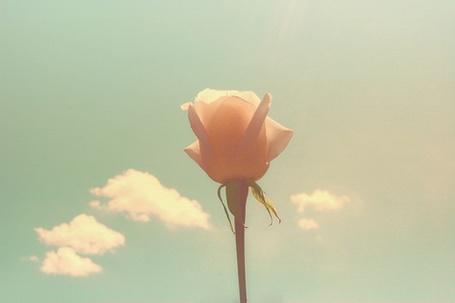 Фото Нежная розовая роза на фоне неба