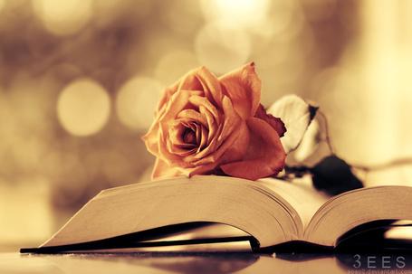 Фото Подвявшая роза на открытой книге, фотограф Essa Al Mazroee (3ees) (© Radieschen), добавлено: 01.06.2012 14:56