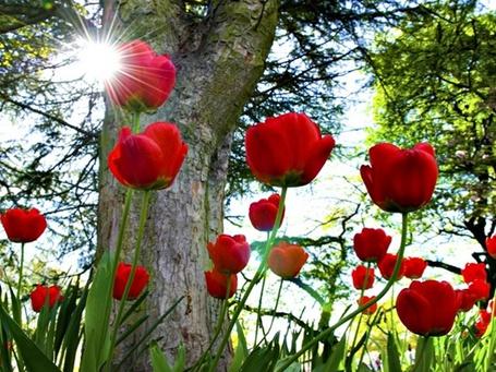Фото Красные тюльпаны под деревом (© Princessa), добавлено: 01.06.2012 22:48