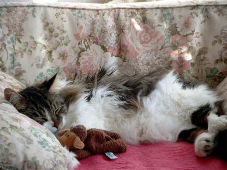 Фото Спящий с игрушкой на кровати  пушистый кот (© Volkodavsha), добавлено: 03.06.2012 05:51