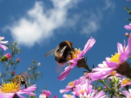 Фото Шмель на цветке эхинацеи