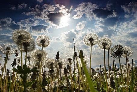 Фото Одуванчики на фоне облачного неба (© Antuannet), добавлено: 05.06.2012 03:07