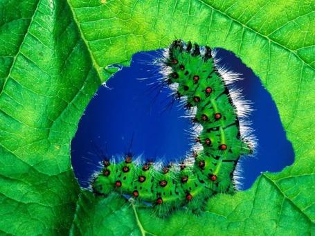 Фото Зелёная гусеница поедает лист (© Anatol), добавлено: 08.06.2012 00:54