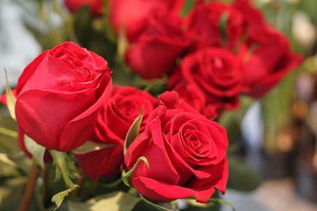 Фото Красивые красные розы (© Феминистка), добавлено: 08.06.2012 16:14