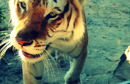Фото Милый усатый тигр (© lemon), добавлено: 10.06.2012 13:29
