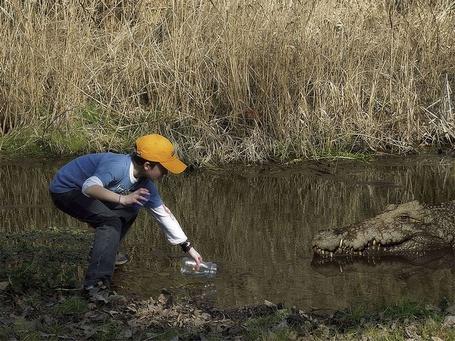 Фото Парень пытается поймать крокодила в маленькую стеклянную баночку