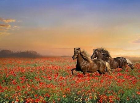 Фото Два гнедых коня несутся по полю (© Anatol), добавлено: 20.06.2012 01:46