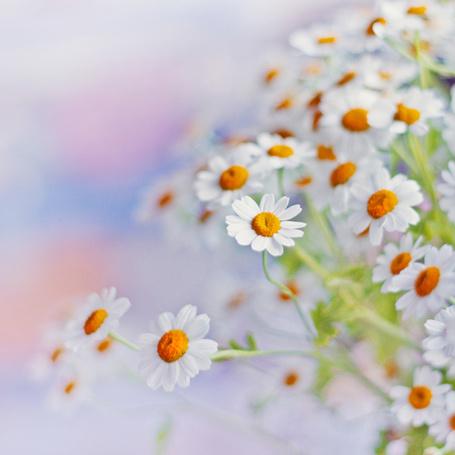 Фото Нежные полевые ромашки. Фотограф Alicja Rodzik (© Natko), добавлено: 20.06.2012 18:22