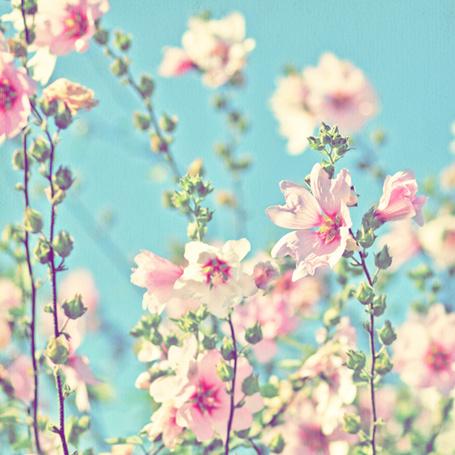 Фото Нежные розовые цветы на фоне неба. Фотограф Alicja Rodzik (© Natko), добавлено: 20.06.2012 18:30