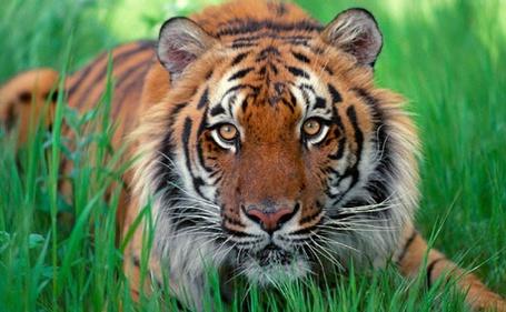 Фото Тигр, лежащий на зеленой траве
