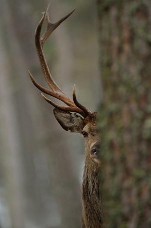 Фото Олень, наблюдающий за чем-то из-за дерева (© Юки-тян), добавлено: 30.06.2012 16:22