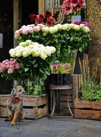 Фото Собачка, охраняющая розы и другие цветы на улице (© Юки-тян), добавлено: 30.06.2012 22:34