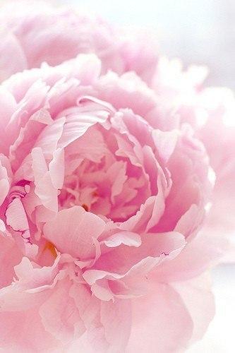 Фото бутон пиона розового цвета
