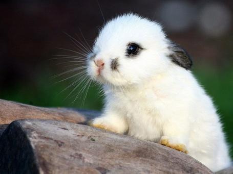 Фото Маленький чёрно-белый кролик (© Sveta_Sherer), добавлено: 01.07.2012 17:27