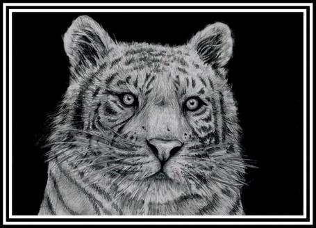 Фото Амурский тигр (© Anatol), добавлено: 03.07.2012 15:20