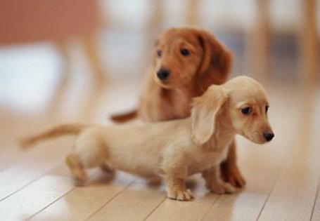 Фото Два маленьких щеночка таксы
