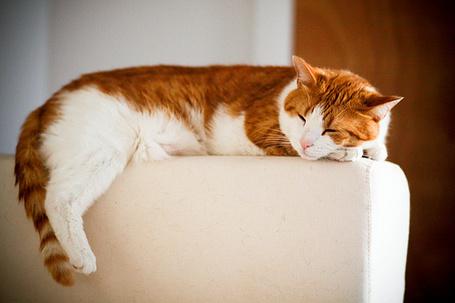 Фото Бело-рыжий кот лежит на белом подлокотнике дивана (© Радистка Кэт), добавлено: 04.07.2012 20:12