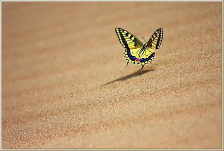Фото Бабочка над песком (© nataaaaaaa), добавлено: 04.07.2012 23:07
