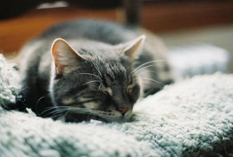 Фото Кошка дремлет, лежа на шерстяной ткани (© Юки-тян), добавлено: 08.07.2012 14:37