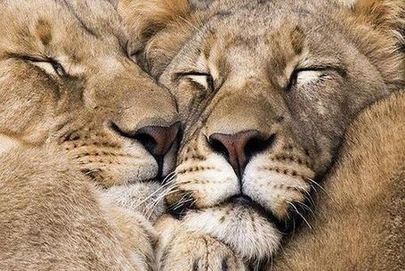 Фото Два льва спят в обнимку