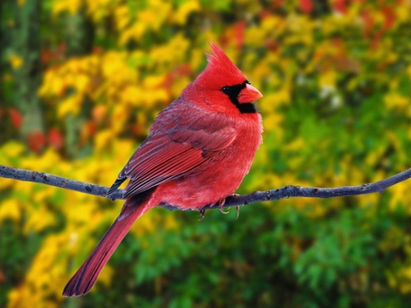Фото Красный кардинал сидит на ветке