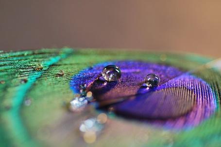 Фото Капли воды на павлиньем пере (© Юки-тян), добавлено: 11.07.2012 21:12