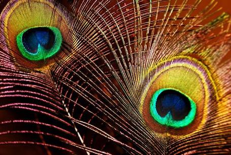 Фото Павлинье перья