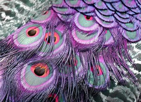 Фото Красивые павлиньи перья