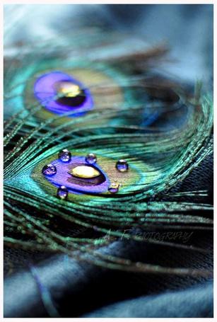 Фото Павлинье перо в каплях воды