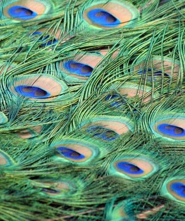 Фото Павлиньи перья