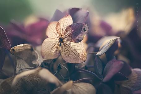 Фото Увядшие почти прозрачные цветы, фотограф Oer-Wout (© Radieschen), добавлено: 13.07.2012 08:10