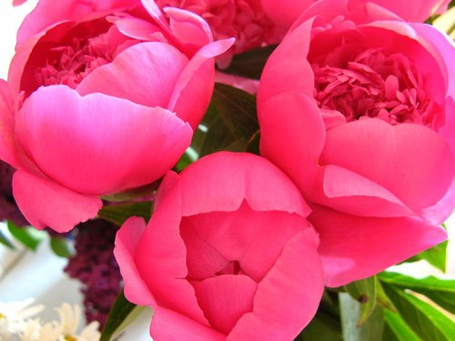 Фото Ярко-розовые пионы (© Феминистка), добавлено: 13.07.2012 19:09