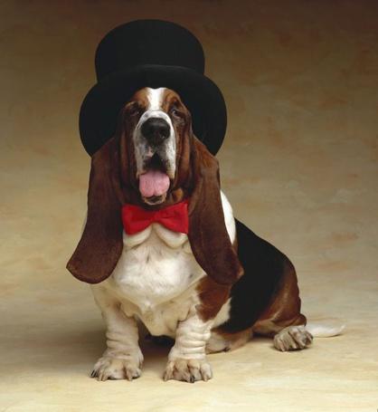 ���� ������-����� / Basset-hound � �������� � � ������� (� Anatol), ���������: 16.07.2012 13:45